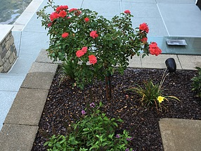 landscape design, st. louis landscape, rose tree, butterfly bush
