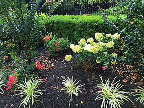landscape design, st. louis landscape, hydrangea, liriope, drift rose, color